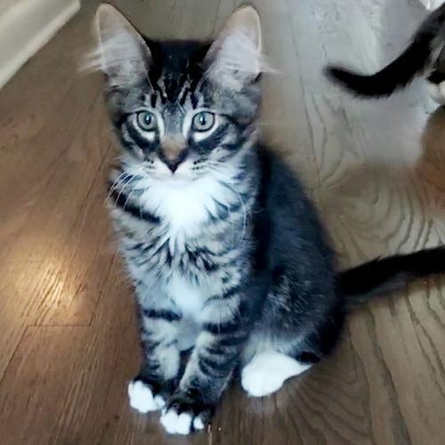 Ajax, an adoptable Domestic Medium Hair & Tabby Mix in Springfield, OR_image-1