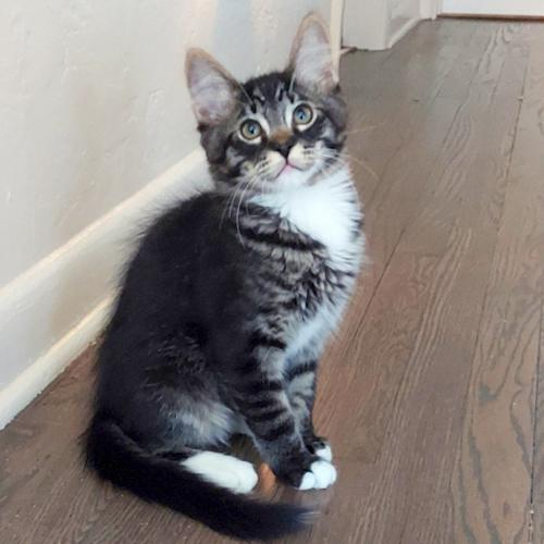 Ajax, an adoptable Domestic Medium Hair & Tabby Mix in Springfield, OR_image-2