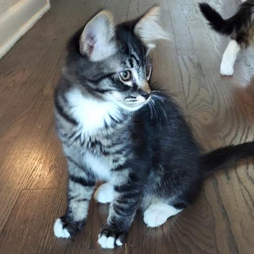 Ajax, an adoptable Domestic Medium Hair & Tabby Mix in Springfield, OR_image-3