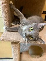 Tabitha, an adoptable Domestic Short Hair in Rowlett, TX_image-1