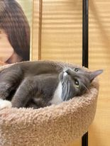 Tabitha, an adoptable Domestic Short Hair in Rowlett, TX_image-2