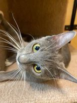 Tabitha, an adoptable Domestic Short Hair in Rowlett, TX_image-3