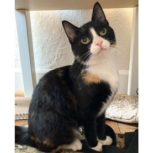 Wispy, an adoptable Tortoiseshell & Domestic Short Hair Mix in Springfield, OR_image-1