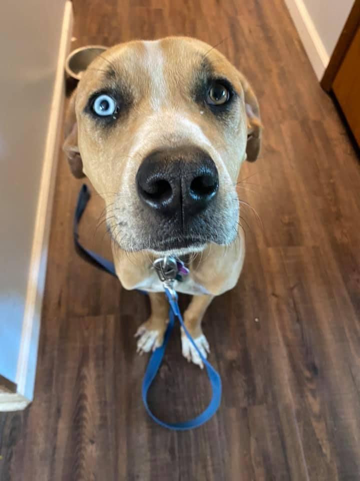 Boone, an adoptable Catahoula Leopard Dog Mix in Manhattan, KS_image-1