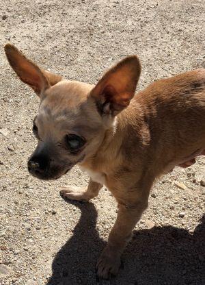 Tootsie Chihuahua Dog
