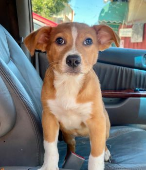 Sandy Baby Cattle Dog Dog
