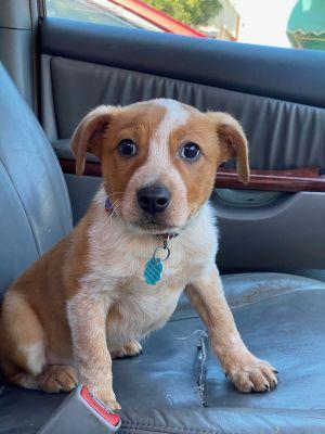 Kenickie Cattle Dog Dog