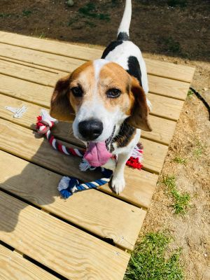 TO APPLY GO TO wwwLuckyDogRefugecom Jake is a 6-8 year old beagle boy with all the love in the w