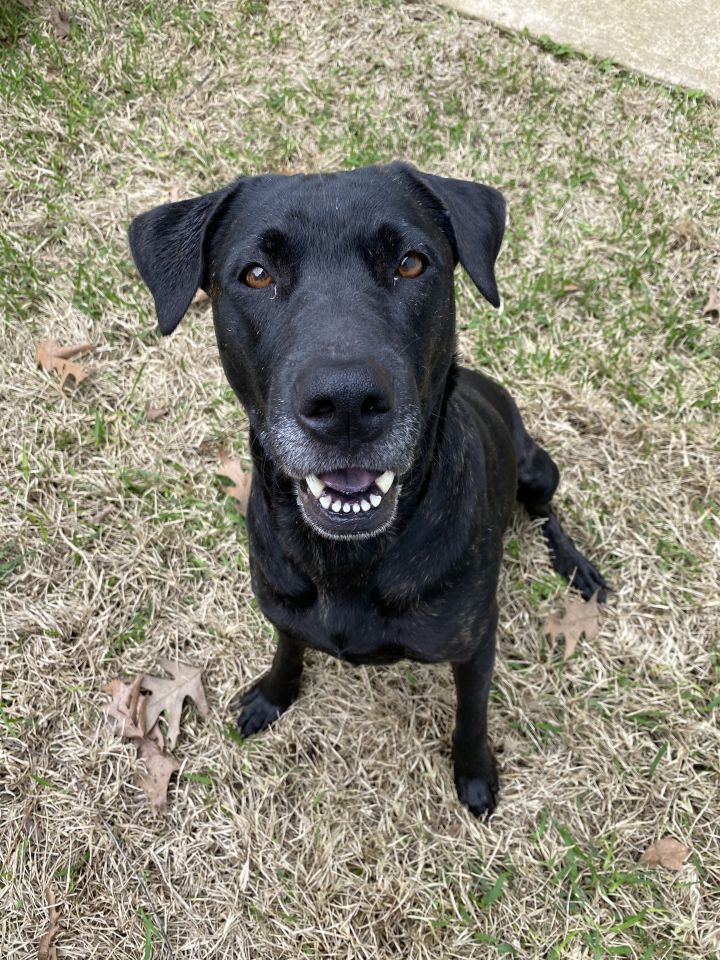 Cassie, an adoptable Labrador Retriever Mix in Brewster, NY_image-6