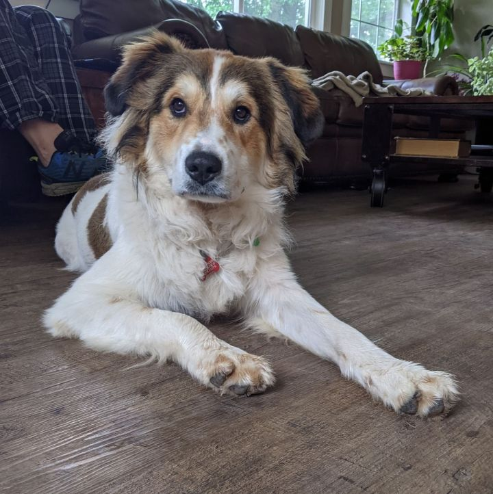 Sabry, an adoptable Great Pyrenees & Australian Shepherd Mix in Kiowa, OK_image-2
