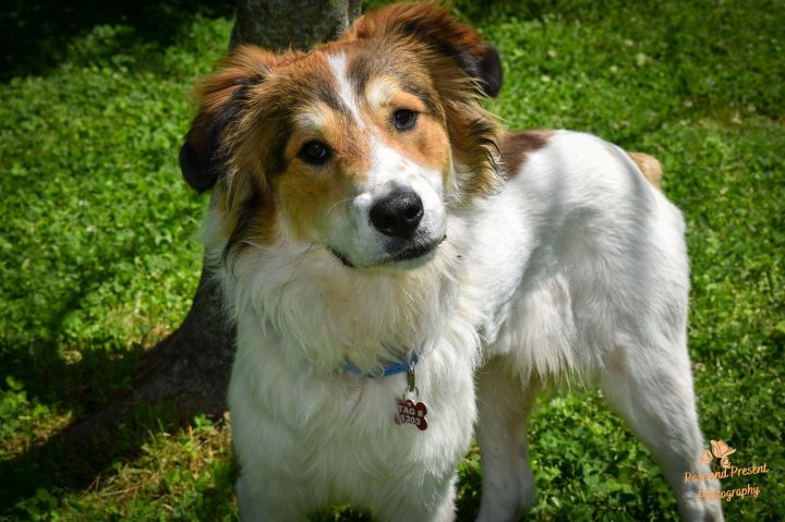 Sabry, an adoptable Great Pyrenees & Australian Shepherd Mix in Kiowa, OK_image-3