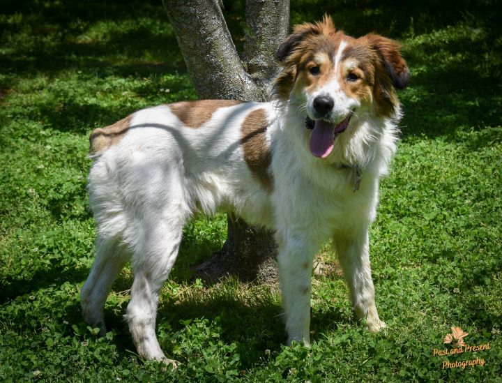 Sabry, an adoptable Great Pyrenees & Australian Shepherd Mix in Kiowa, OK_image-5
