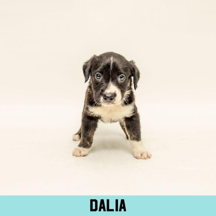 Dalia 1