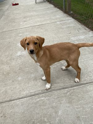 Moss is a 4 month old neutered male  hound mix He is a little shy but with some socialization