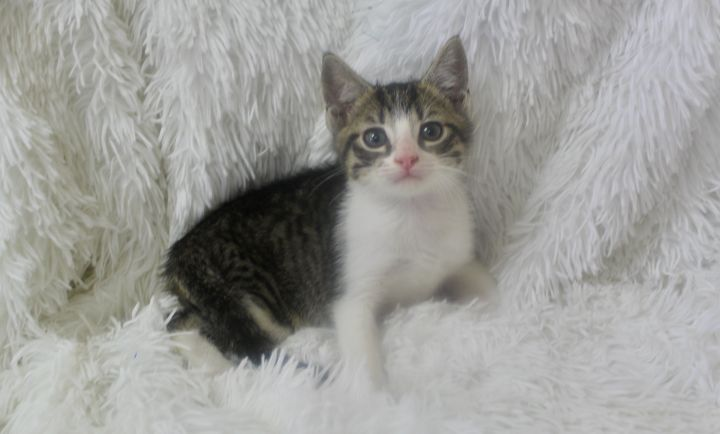 Sporty  Sakuma, an adopted Domestic Short Hair & Tabby Mix in Saint Augustine, FL_image-2