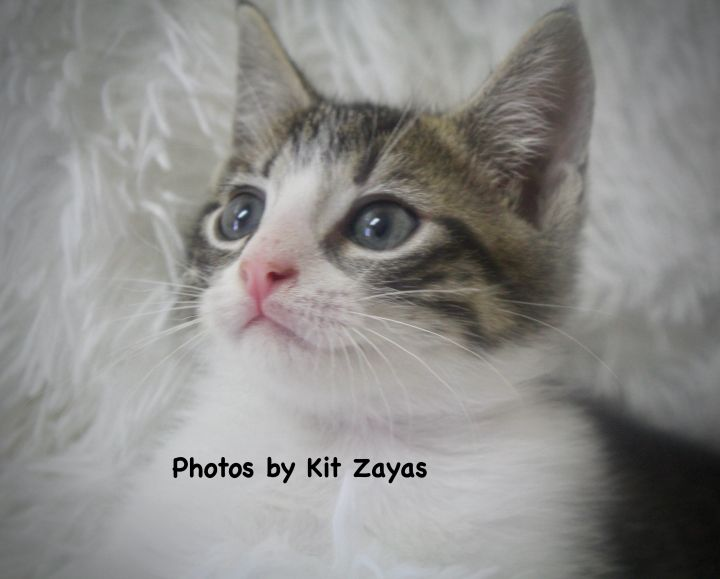 Sporty  Sakuma, an adopted Domestic Short Hair & Tabby Mix in Saint Augustine, FL_image-3