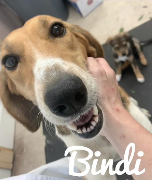 Bindi, an adoptable Beagle Mix in Rockville, MD_image-1