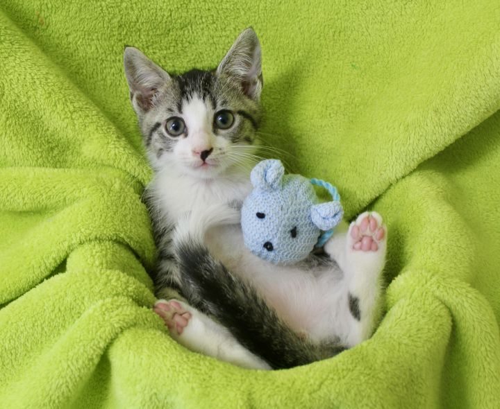 Gabby Gojo, an adopted Domestic Short Hair in Saint Augustine, FL_image-2