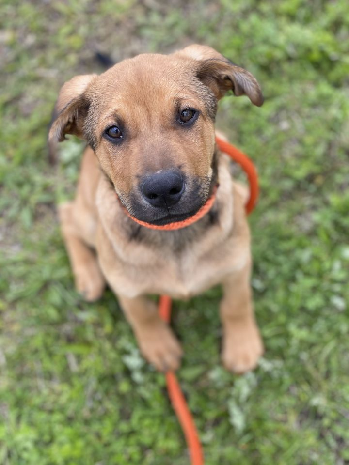 Othello, an adoptable Shepherd Mix in Long Beach, NY_image-6