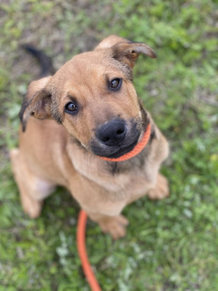 Othello, an adoptable Shepherd Mix in Long Beach, NY_image-1