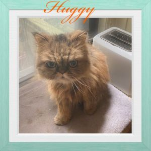 Meet Huggy a beautiful sweet Persian girl who sadly lost her home when her human passed away from o