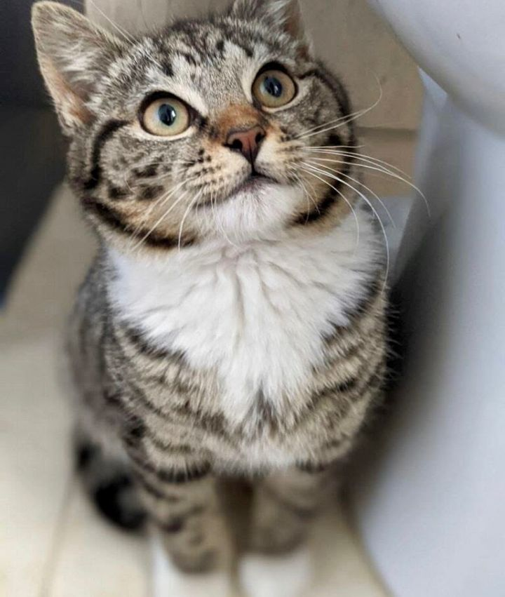 Taco, an adopted Domestic Short Hair in Greenburgh, NY_image-4