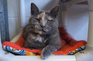 Molly Calico Cat