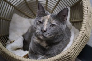 Molly is a petite 1yr old pastel torbie She was found as a stray and will need time to adjust