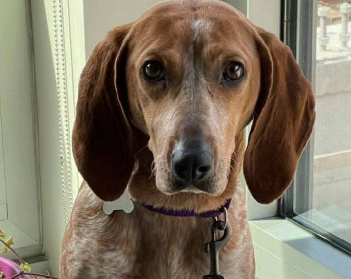 Brenlee, an adoptable Hound Mix in Boston, MA_image-1