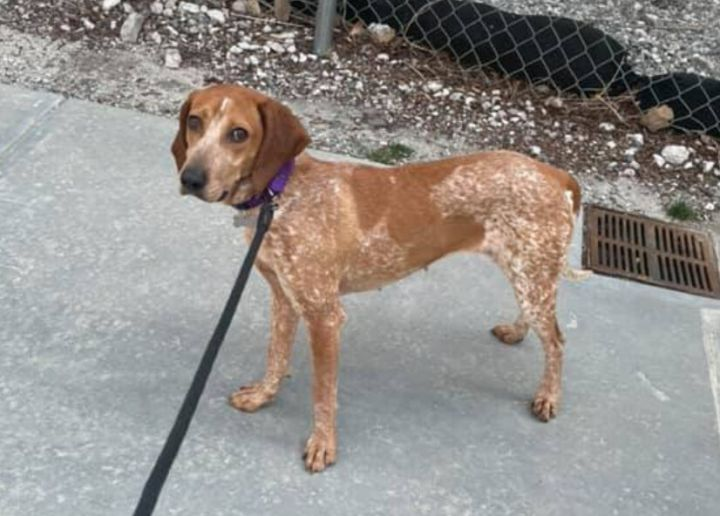 Brenlee, an adoptable Hound Mix in Boston, MA_image-2