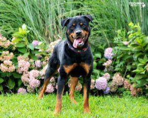 zeus Rottweiler Dog
