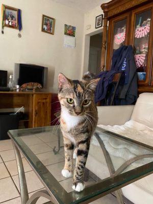 Pearl Torbie Cat