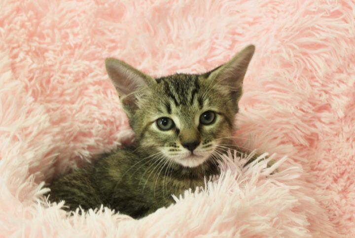 Tender Tia, an adoptable Tabby in Saint Augustine, FL_image-1