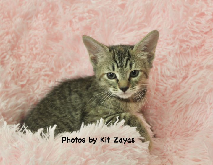 Tender Tia, an adoptable Tabby in Saint Augustine, FL_image-3