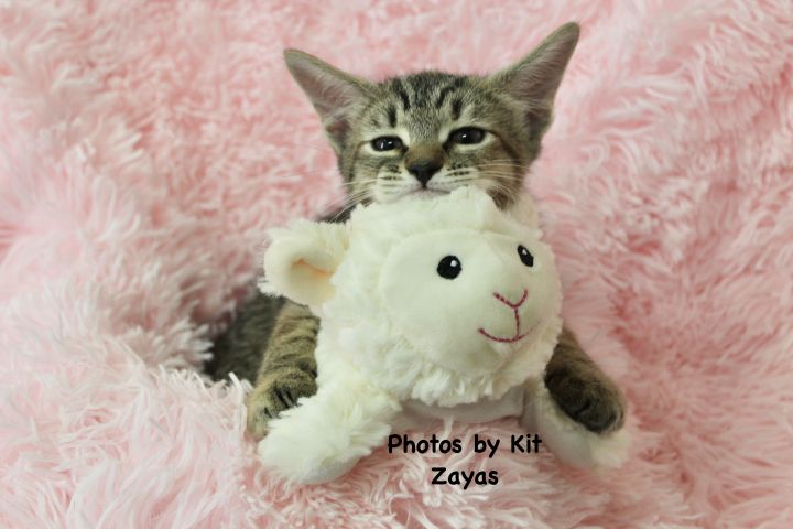 Tender Tia, an adoptable Tabby in Saint Augustine, FL_image-4