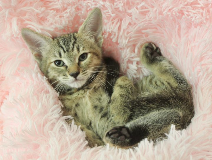 Tender Tia, an adoptable Tabby in Saint Augustine, FL_image-6