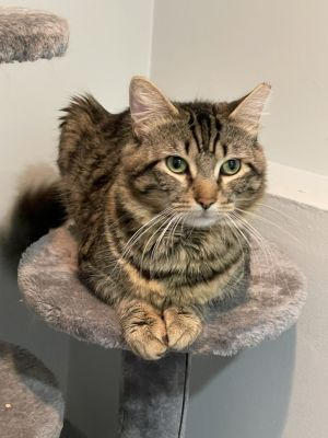 Clover is one cool cat This stunning brown tabby loves nothing more than to be held He truly adore