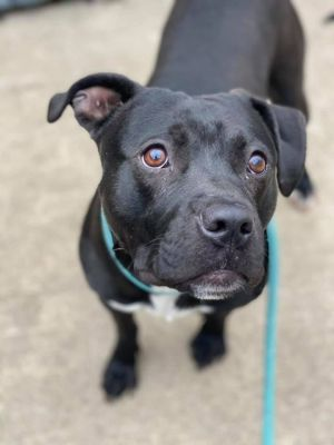 Cagney A226228 Cagney is a 2 year old male who came into the shelter on 49 as a confiscate Handlin