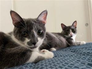 Faith and Grace Domestic Short Hair Cat