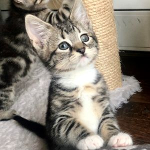Betty - Royal Kittens