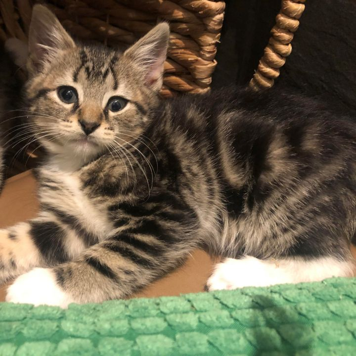 Betty - Royal Kittens 5
