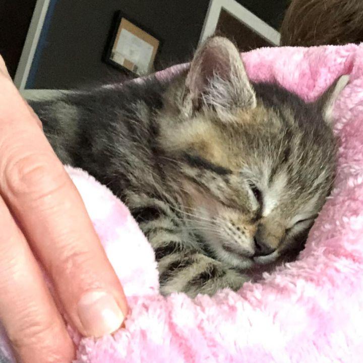Pippa - Royal Kittens 2