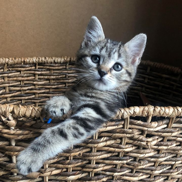 Pippa - Royal Kittens 1