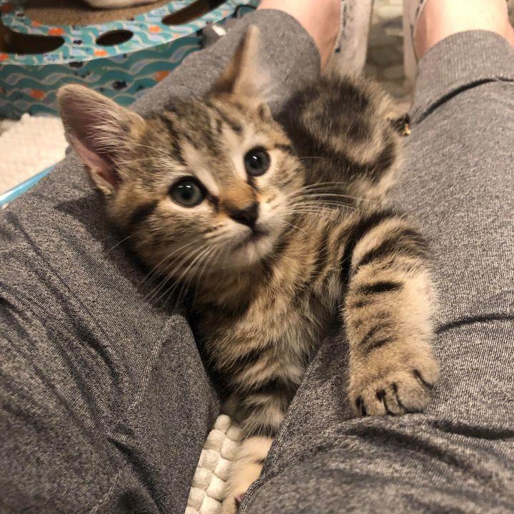 Pippa - Royal Kittens 6