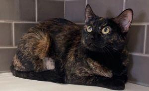 Zaidee Domestic Short Hair Cat