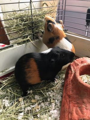 Nibbles and Oreo Guinea Pig Small & Furry