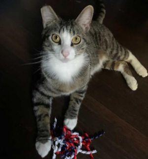 Ash Tabby Cat
