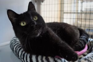 Obsidian is a six year old spayed female She was quite cautious when she first