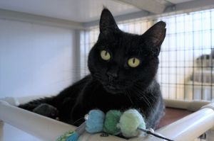 Obsidian is a six year old spayed female She was quite cautious when she first got to the shelter