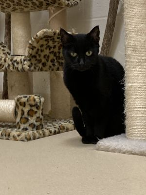 Inky is a friendly cat who is about 9-10 years old She is at the shelter with her friend Zippy